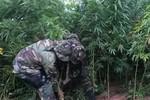 Hallan más de una tonelada de marihuana en Monteagudo