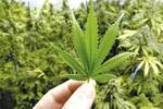 Perú autoriza utilización médica de la marihuana