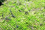 Fallo oficializa tope máximo de cultivos de coca