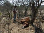 El fuego arrasa pastizales en Macharetí y la sequía mata al ganado en Huacaya