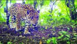 """Chuquisaca, """"agujero negro"""" en información sobre jaguares"""