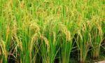 Emapa y agricultores acuerdan los precios del arroz de la campaña de verano