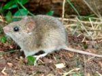 Arenavirus cobró una vida en el norte paceño y se activa vigilancia epidemiológica intensiva