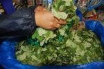 Cocaleros del Chapare: Aportamos Bs 4 por cada paquete de 100 libras de coca