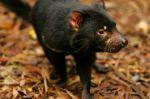 Australia: Nacen demonios de Tasmania 3.000 años después de su desaparición