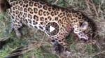 Revelan videos del brutal biocidio de un jaguar en el oriente boliviano