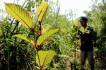 Tailandia autoriza el consumo de la droga kratom