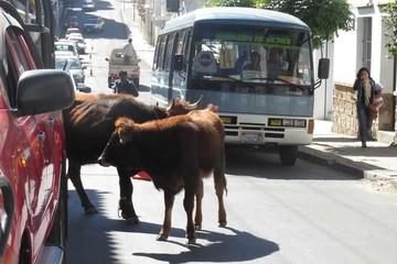 Animales deambulan por las calles