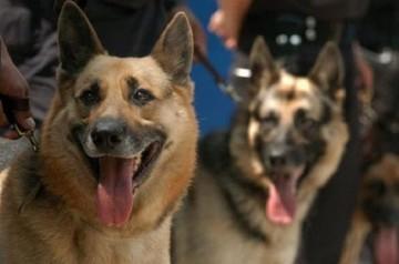 Bolivia compra en España 16 perros para reforzar unidad canina antidrogas