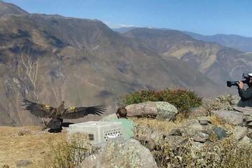 Perú: Documentan liberación de un cóndor