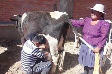 Potolo: Adolescente es el mejor ordeñador de vacas
