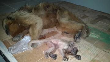 Mueren más de 20 monos en Chapi Mayu