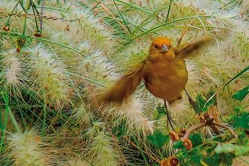 Aves: Introducidas vs. nativas