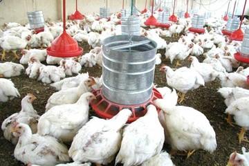 Aumenta consumo de pollos; productores reclaman apoyo