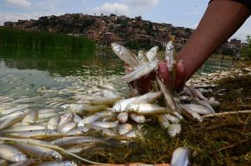 Miles de peces mueren en la laguna Alalay