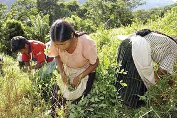 Los cocaleros preparan nueva Ley para la coca