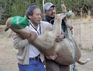 Traslado de vicuña mascota desata polémica