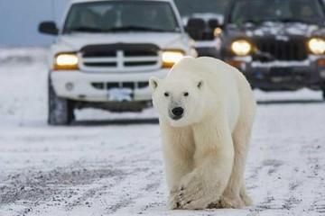Arviamiut y osos polares, en convivencia