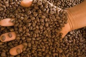 Cafetaleros bajan su producción de 140 mil a 31 mil sacos anuales