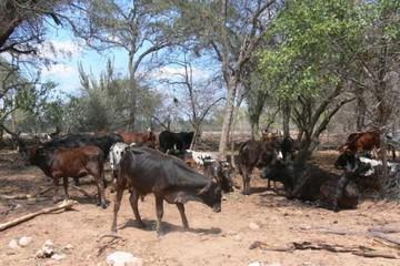 Chuquisaca: Más de 2.000 cabezas de ganado murieron en Macharetí por sequía