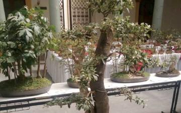 Feria premia a mejores especímenes de bonsái