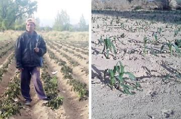 Cintis pierde producción por fuerte sequía y helada