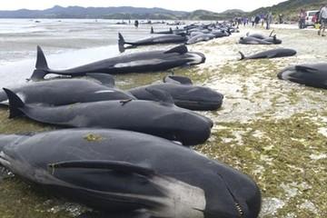 Encuentran unas 300 ballenas muertas en Nueva Zelanda