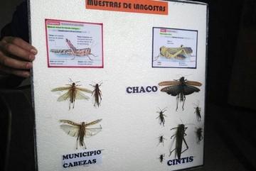 Gobernación y Senasag descartan presencia de langostas depredadoras en Chuquisaca