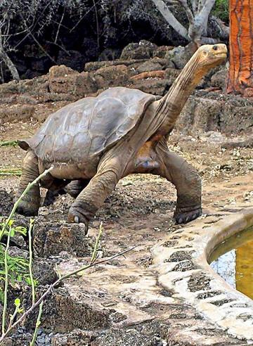 """Disecada tortuga """"Solitario George"""" vuelve a Galápagos"""