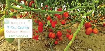 Buscan mejorar cultivo de tomate en municipios