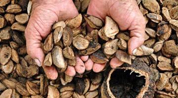 Gobierno estima que la cosecha de castaña se redujo a un 40%