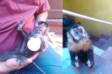 Piden ayuda para trasladar a un parque a dos monos encontrados en Sucre