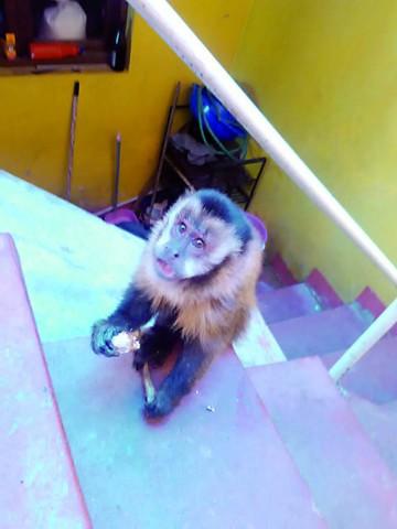 Piden apoyo para trasladar a monos al parque Machía