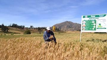 El Gobierno presenta una variedad de trigo para duplicar la producción
