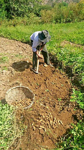 Icla reactivará este año su producción de semilla de maní