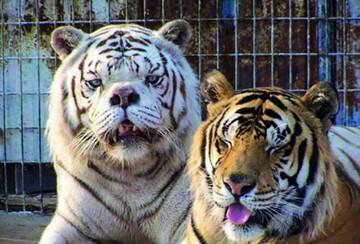 Kenny, el tigre blanco con Síndrome de Down