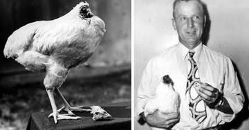 Pollo logra sobrevivir 18 meses sin cabeza