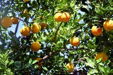 Agricultores de San Lucas invitan a probar su naranja