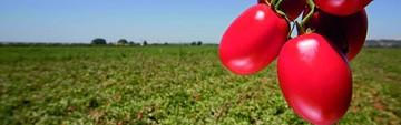 Cae producción y suben importaciones de papa, tomate y cebolla