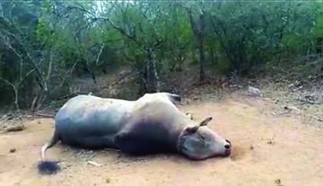 Muerte de ganado activa protestas en Macharetí