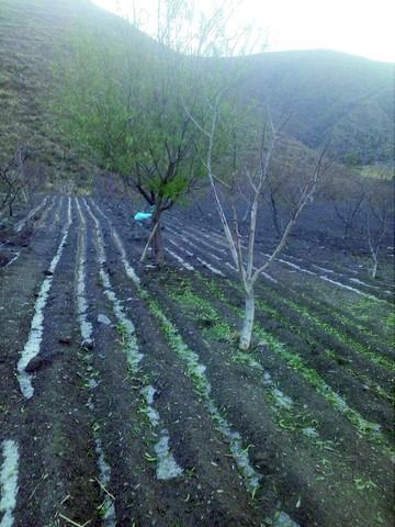 4 poblaciones de Camargo pierden plantas de durazno