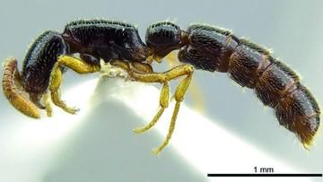 Un hormiga keniana lleva el nombre de... ¡Obama!