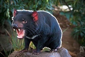 El demonio de Tasmania aún lucha por sobrevivir