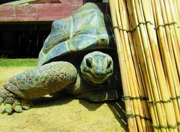 Tardaron dos semanas en encontrar a la tortuga gigante