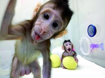 """Científicos clonan monos bajo el método de """"Dolly"""""""