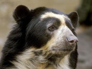 Comienza campaña para salvar al oso de anteojos