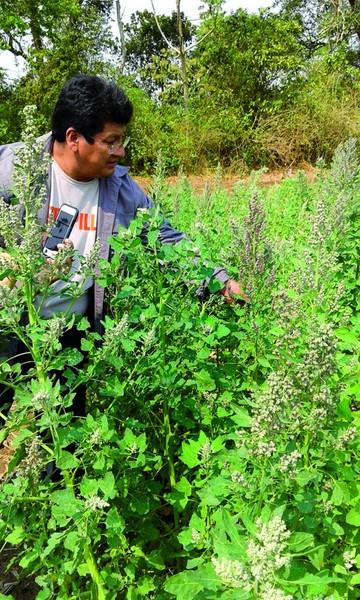 ¿Es posible migrar la quinua al oriente boliviano?
