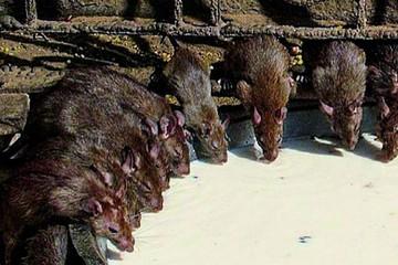 ¿300 mil ratas invaden una sede de Gobierno en India?