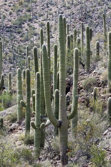 Microchips protegerán los cactus de los depredadores