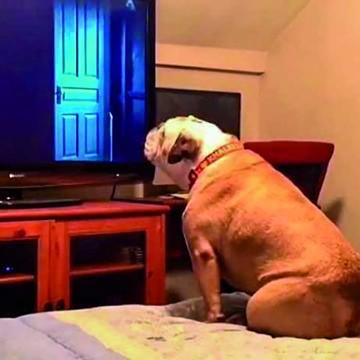 """Khaleesi"", bulldog viral que les ladra a los malos"